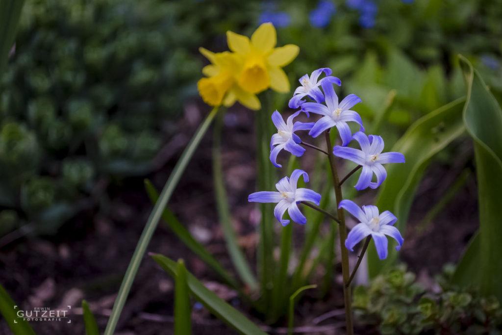 Blaustern und Osterglocke