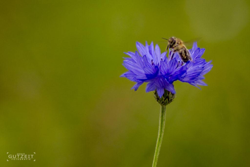 Kornblume mit Biene