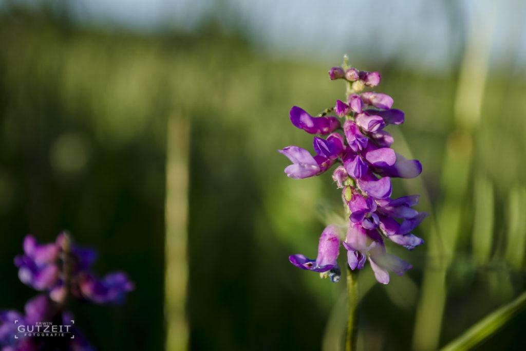 Lila Blütenpracht