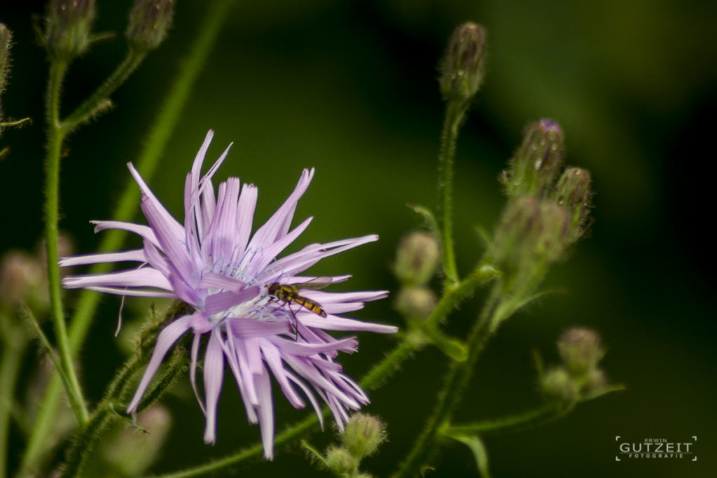 Lila Blüte, Schwebfliege