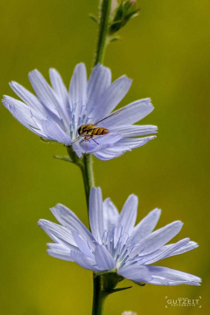 Weiße Blume mit Schwebfliege