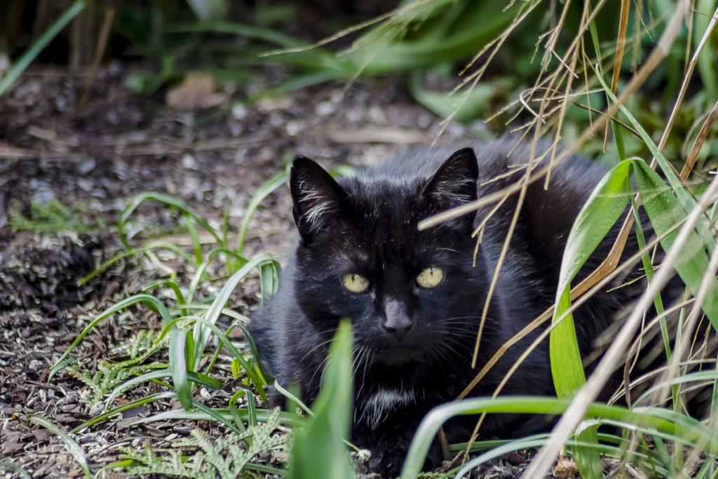 Schwarze Hauskatze
