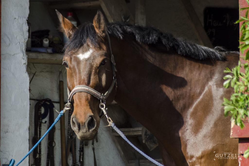 Pferd - Bereit zum striegeln.