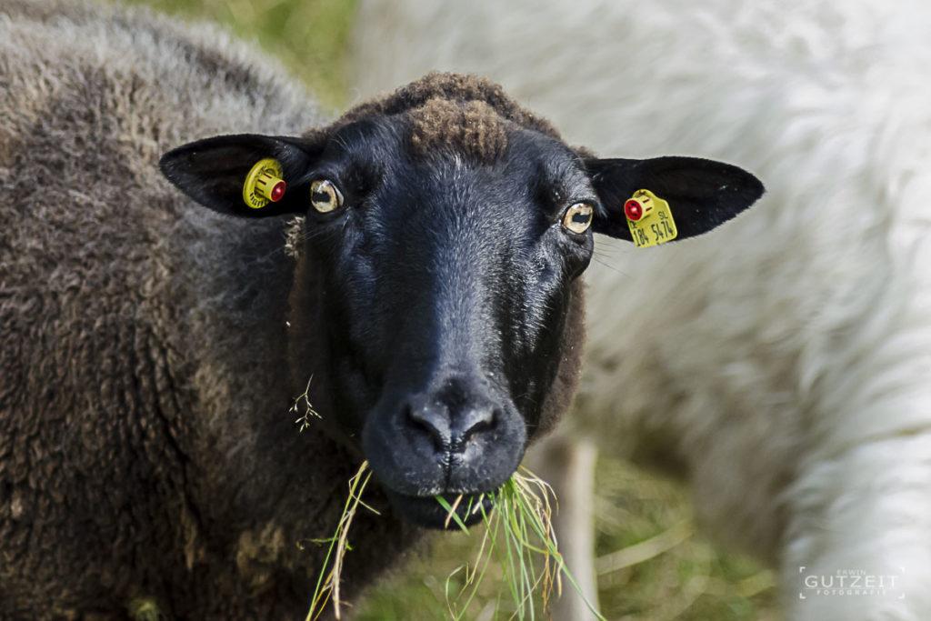 Schaf - Kein Spruch mehr!