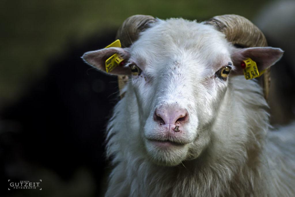 Schaf - Was guckst Du?