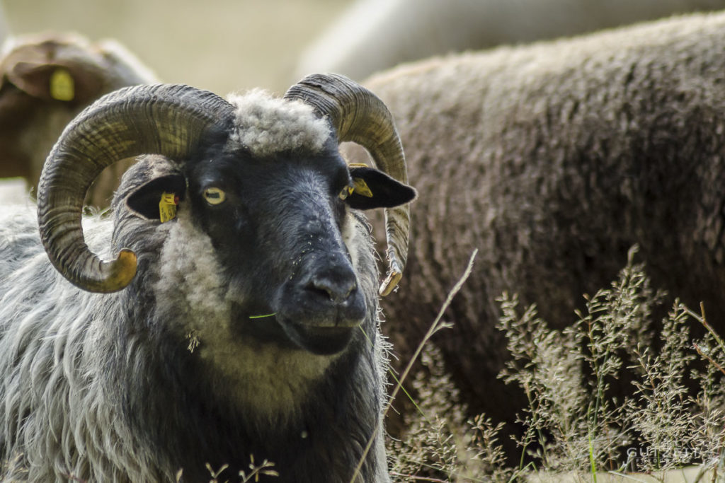 Schaf - Was geht?