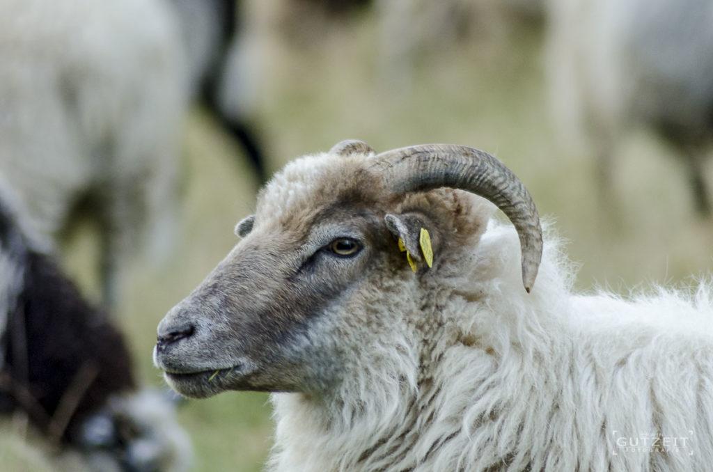 Schaf - Und Du so?