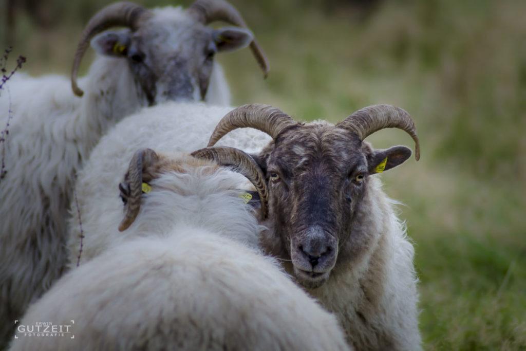 Schafe - Sags nicht Mama!